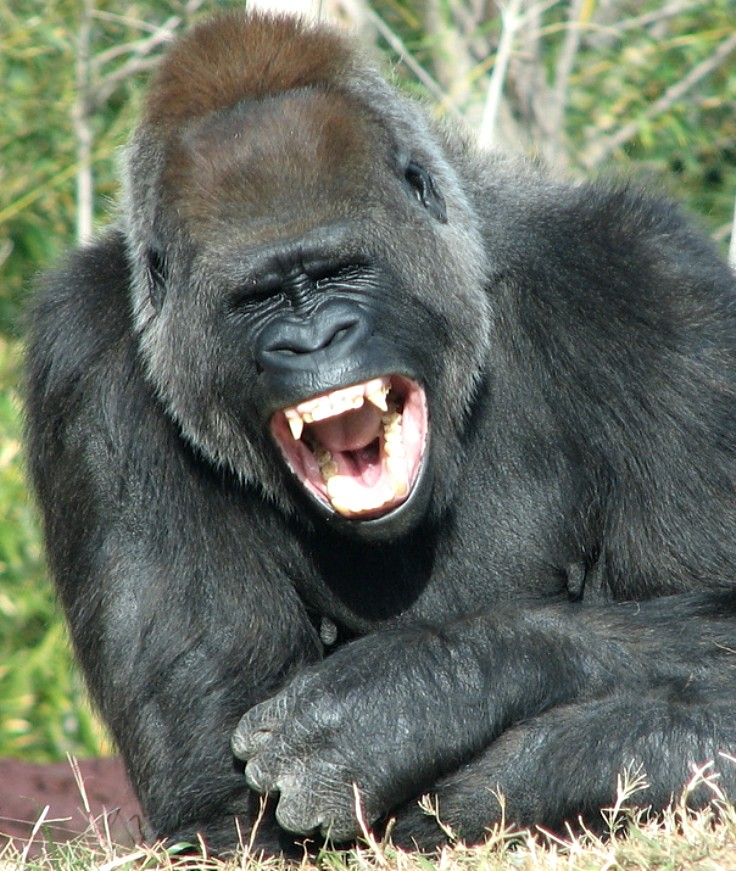 Apes can share a joke and enjoy a good laugh
