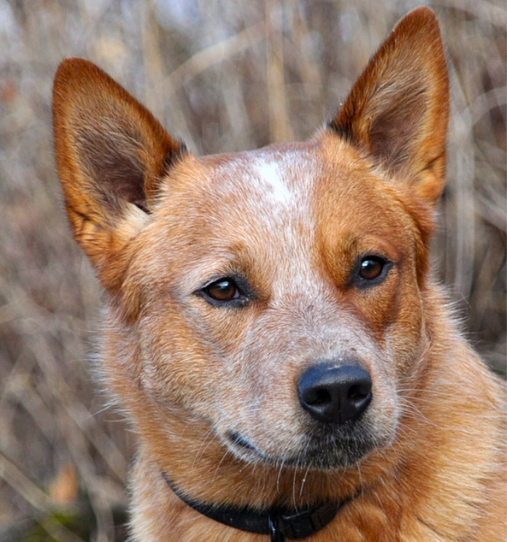 Some breed are more intelligent and perceptive than others. The Australian cattle dog is one of the smartest