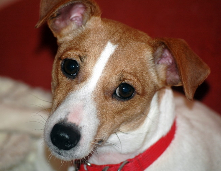 Jack Russels are good at listening and trying to understand what you are saying
