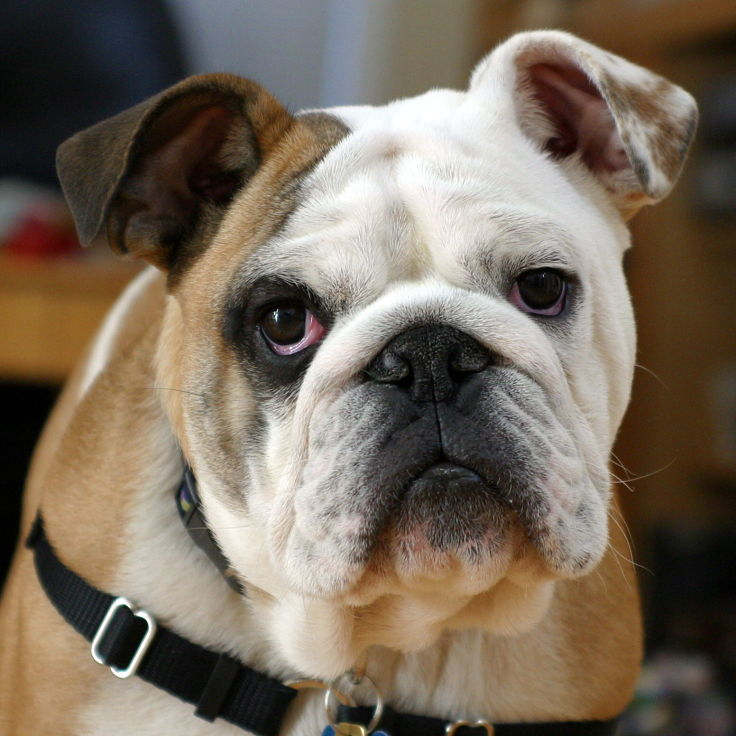 Bulldogs and many very large and heavy dogs have much shorter life spans than smaller dogs